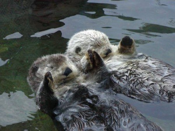 Otters Holding Hands | Know Your Meme