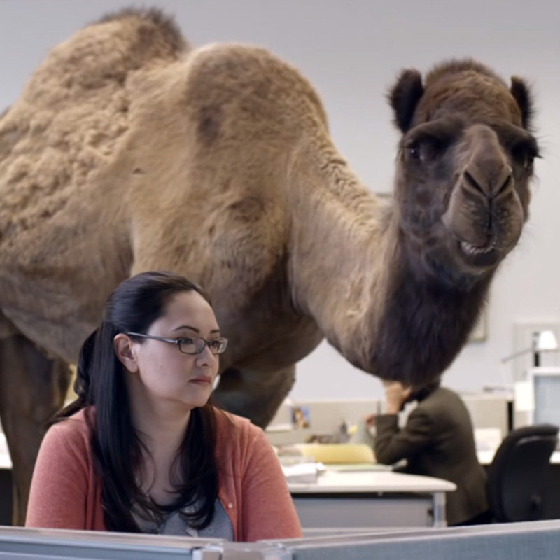 Geico Camel Hump Day Geico Camel Hump Day