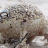 The desert rain frog