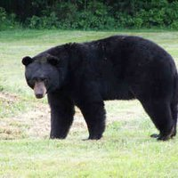 Barrier-breaking Black Bear