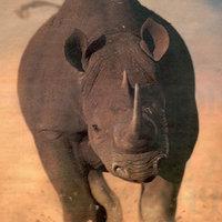 Rowdy Rhinoceros