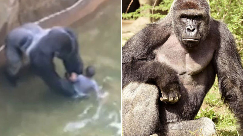 Funny Zoo Memes : Harambe the gorilla know your meme