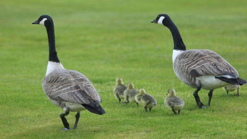 Canda_geese