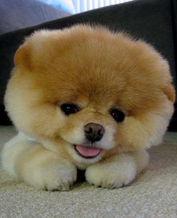 Beautiful Pomeranian Anime Adorable Dog - dog  Image_48319  .jpg