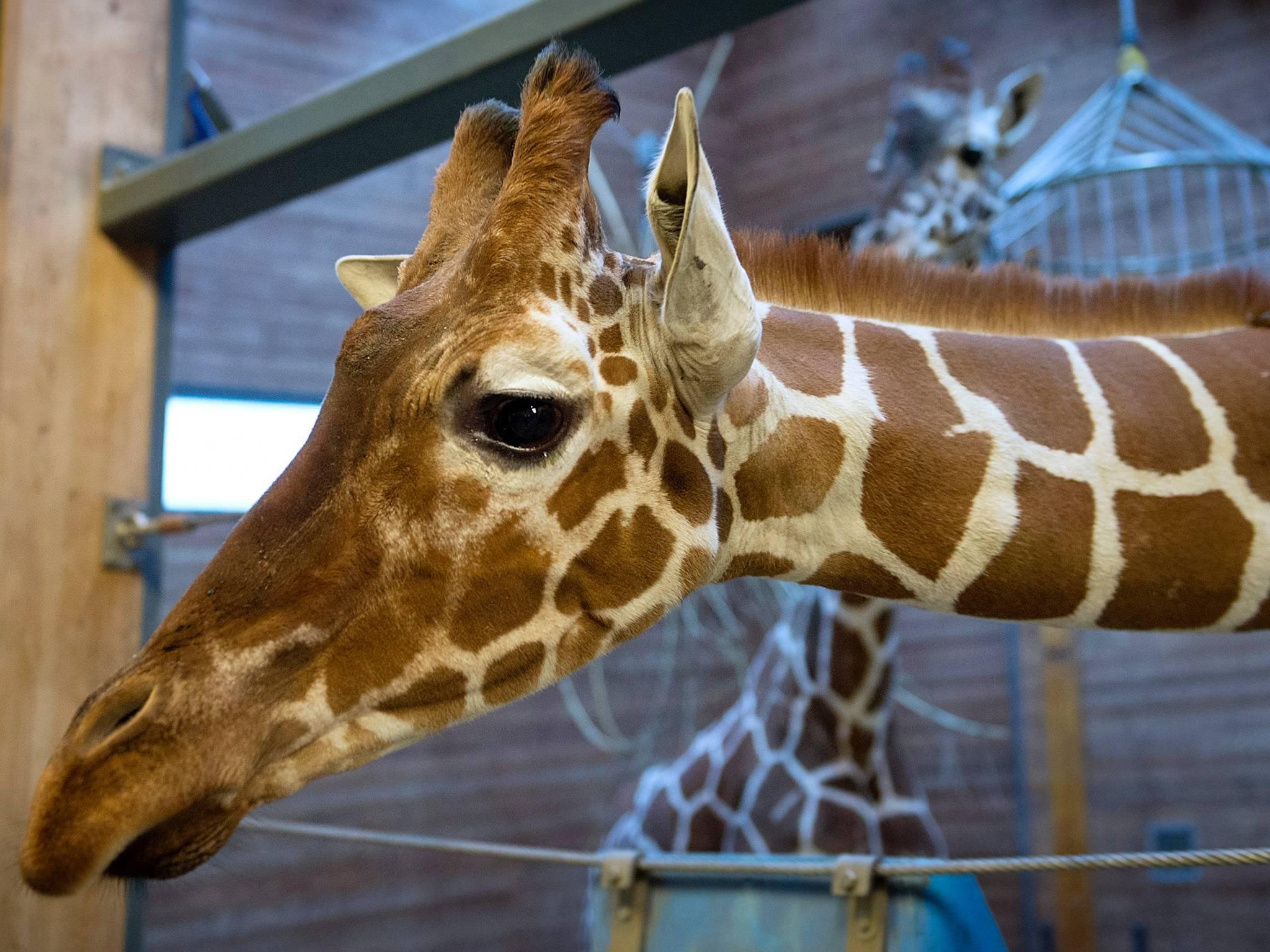 copenhagen zoo giraffe controversy