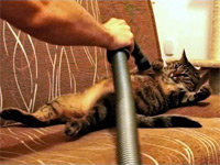 BoBo the Cat Loves Getting Vacuumed