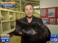 Reporter Terrified By Rooster