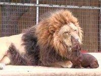 Dachsund Dentist Cleans Lion's Teeth