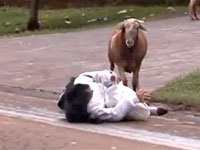 Angry Goat Attacks Townspeople
