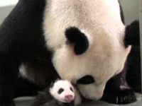 Baby Panda Meets Mom For the First Time