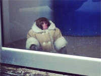 IKEA Monkey to Remain in State Custody