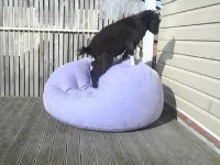This Goat Can't Stand Still on an Inflatable Chair