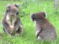 Two Koalas Have an Adorable Fight