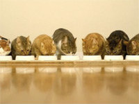 Nine Cats Eating Dinner Side-by-Side