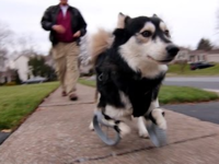 Derby the Dog Runs with Prosthetic Legs