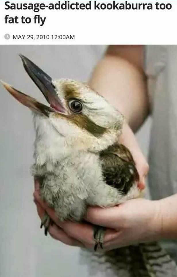 fba sausage addicted kookaburra birds know your meme