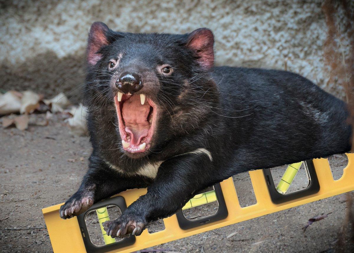 Tasmanian Devil On A Bubble Level You Ve Heard Of The