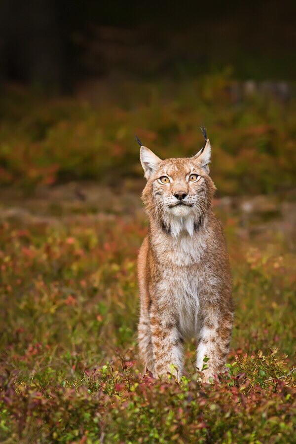 51c somewhat startled looking lynx cats know your meme