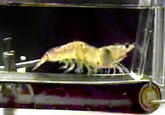 Shrimp on a treadmill