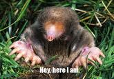 The Hey Here I Am Mole