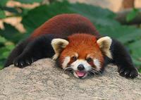 red-panda3.jpg