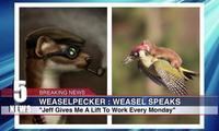 WeaselPecker