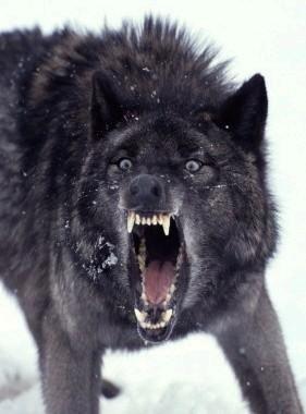 BLACK_WOLF_.jpg