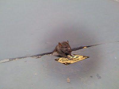 sad_rat_sidewalk_0620110724-22047-io0fzn.jpg