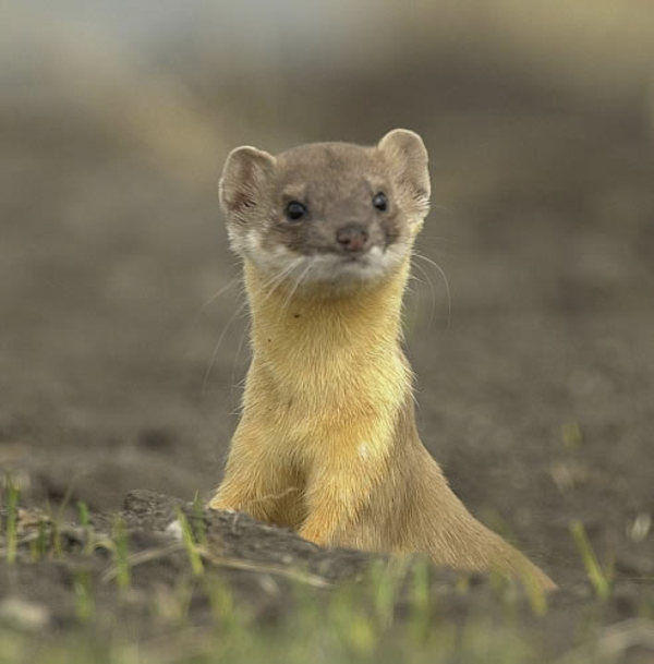 long_tailed_weasel.jpg
