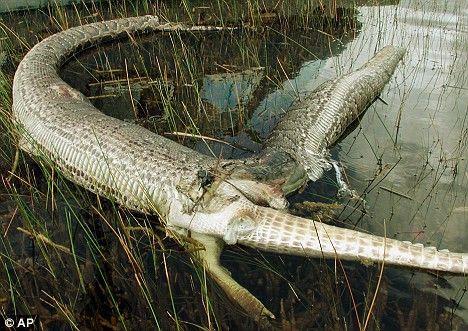 Everglades Everglades National Park Snakes Crocodile Burmese Python Reptile  Crocodilia