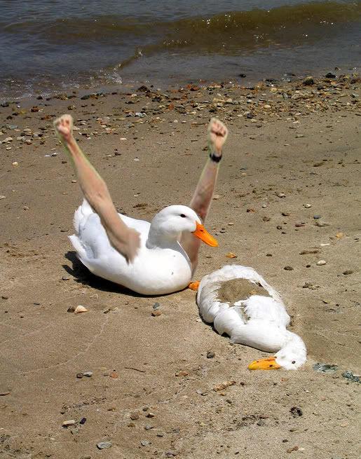 duck3copy.jpg