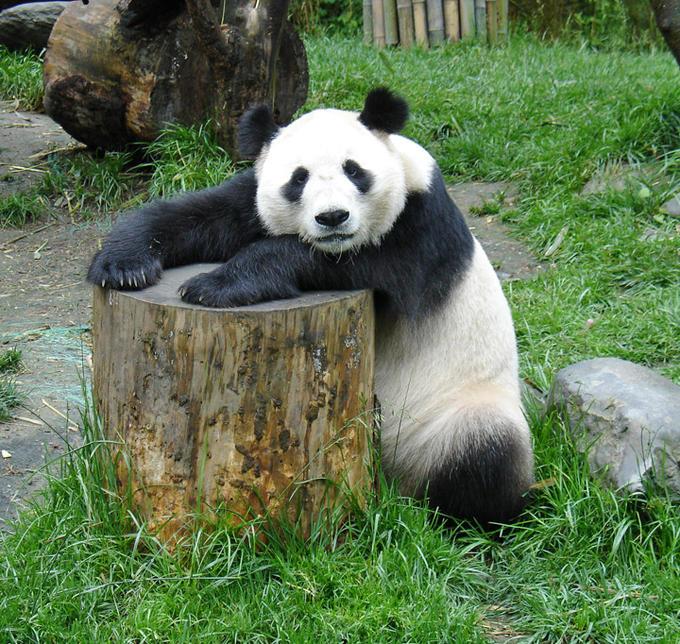 lazy_panda_on_a_tree_stump.jpeg