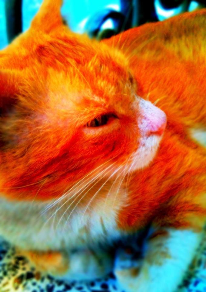 Hamlouch the cat