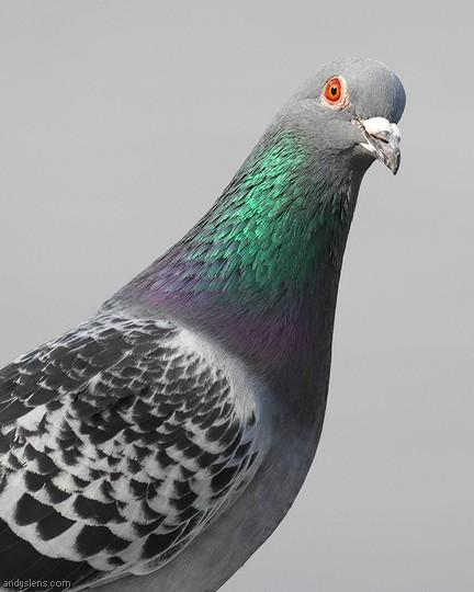Image result for memes of pigeons