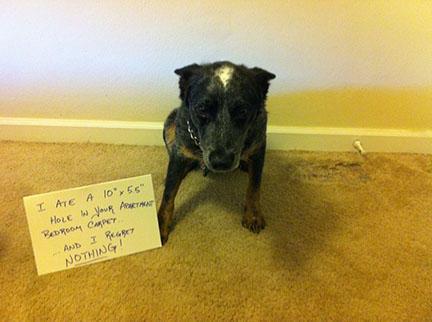 carpet eater.