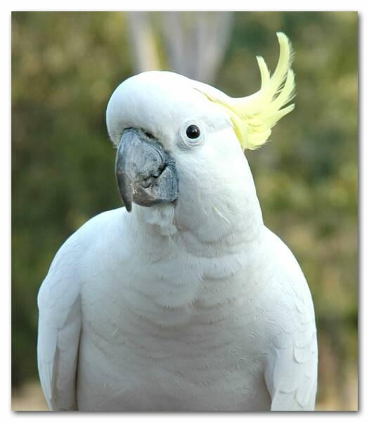 Sulfur-Crested Cockatoo