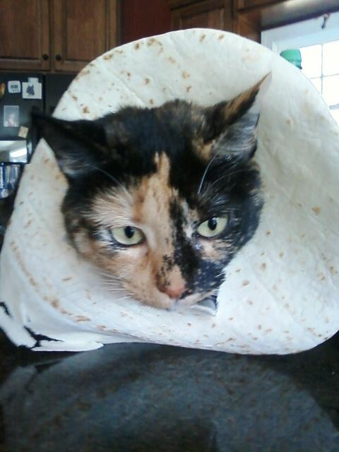 Tortillashell Cat
