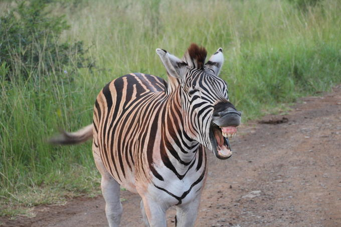 Happy Zebra!