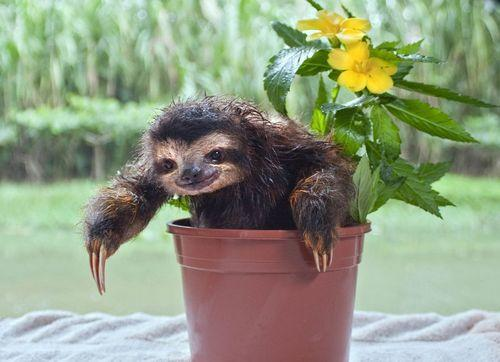 Sloth in a potplant