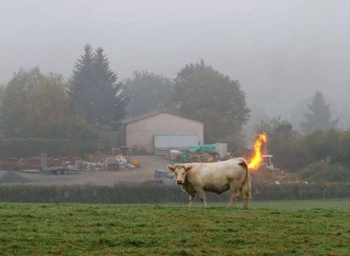 Cow Farting Fire