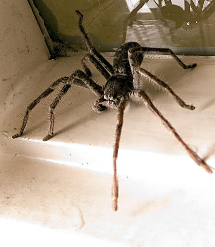 Giant scary spiders memes - photo#22