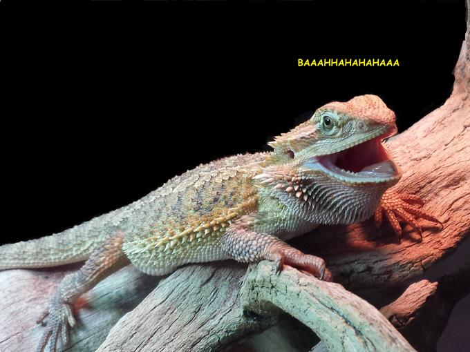 laughing lizard hhhehehe know your meme