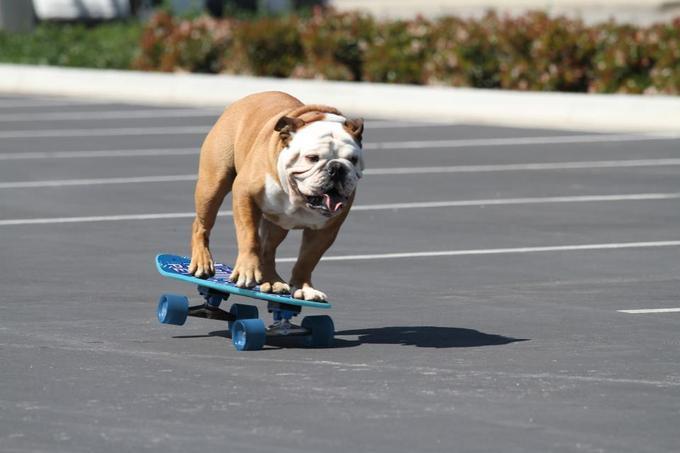 Tillman The Skateboarding Bulldog Know Your Meme