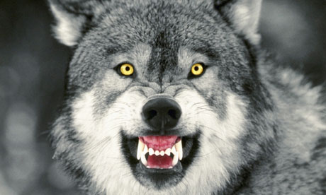 Snarling-Gray-Wolf-006.jpg?1309931699