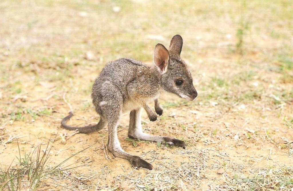 Baby Kangaroo | Cute Animals | Know Your Meme