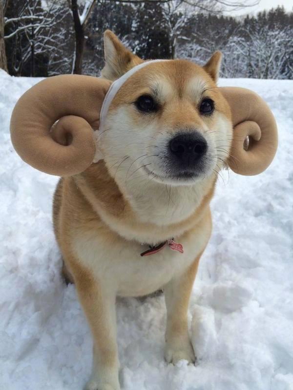 Doge Meme Breed