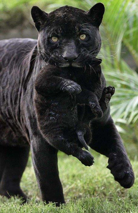 black puma cub