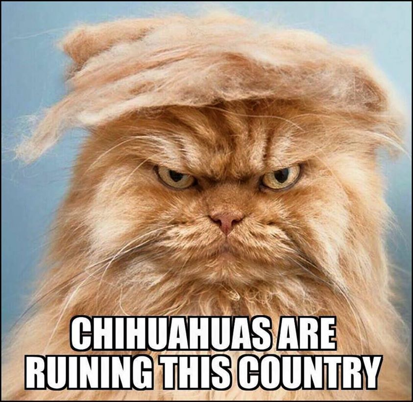 612 chihuahuas are ruining this country! trump your cat know your meme