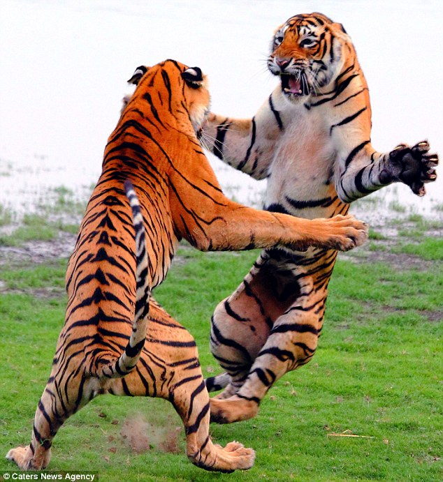 Tigers fighting Animals Know Your Meme