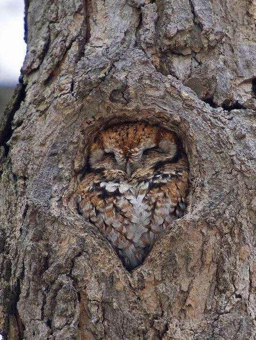 owl in tree birbs your meme